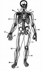 Human Skeleton Diagram Without Labels
