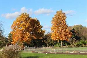 Tulpenbaum Luberade