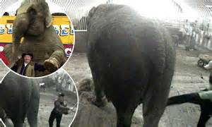 britains  circus elephant anne battered kicked