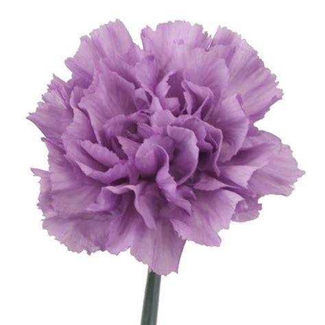 1000 Ideas About Purple Carnations On Pinterest