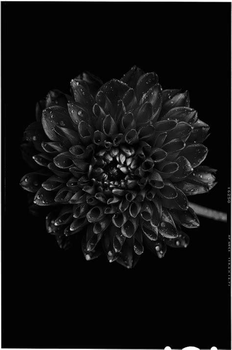 bettina gueber   black  black flowers