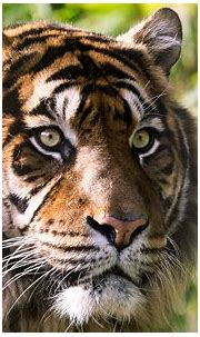Tiger 4K Wallpapers   HD Wallpapers   ID #23328