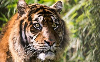 Tiger 4k Wallpapers Tigers Animals Wide