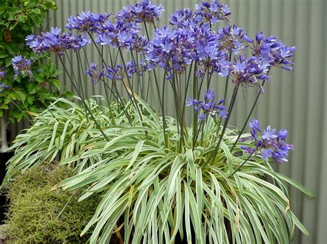 agapanthus variegated wholesale agapanthus plants from fairweather s nursery