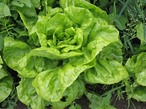 grow greens growing greens lettuce mesclun and more