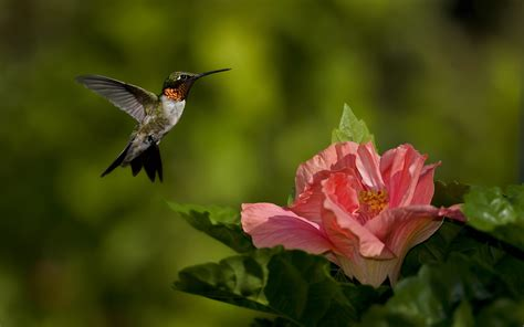 Download Free Hummingbird Wallpapers