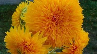Yellow Desktop Flowers Nature Orange Colors Themed