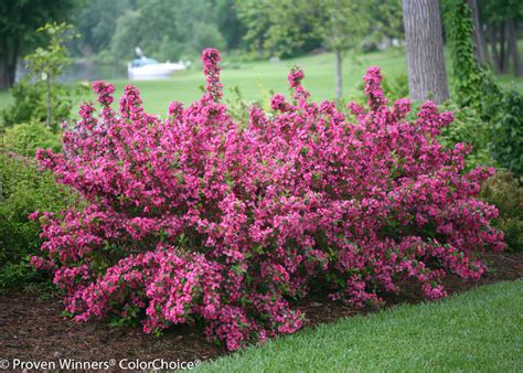 weigela shrubs sonic bloom 174 pink reblooming weigela weigela florida proven winners