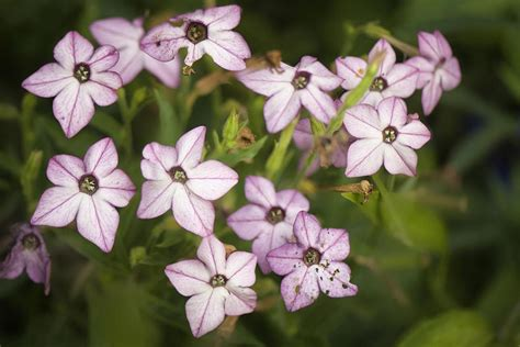 flowering tobacco how to grow and care for nicotiana the flowering tobacco
