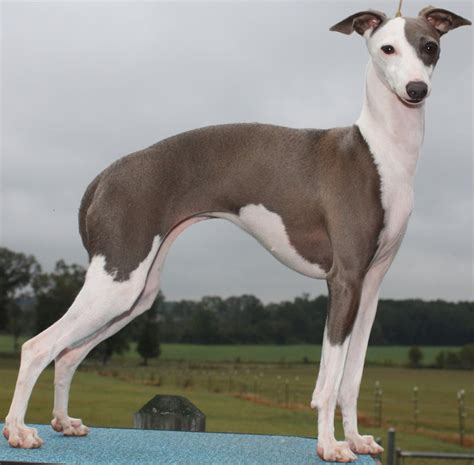 why is my italian greyhound shedding hypoallergenic breeds dogs that don t shed k9