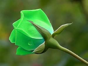 Neon green rose | Single Rose | Pinterest