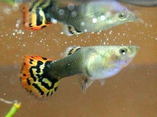 les poissons d eau chaude