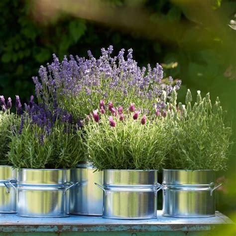 Lavendel Richtig Pflegen by Lavendel Richtig Schneiden Pflegen Garten Garden