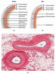 Vein And Artery Slide