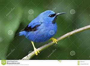 Oiseau Jaune Et Bleu : honeycreeper brillant lucidus de cyanerpes oiseau bleu tropical exotique avec la forme jaune ~ Melissatoandfro.com Idées de Décoration