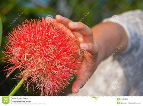 flowers that bloom every year football lily royalty free stock photo image 31494625