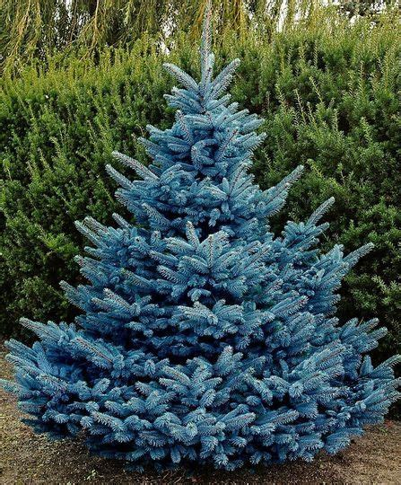 blue spruce picea pungens blue diamond mar 233 chal awesome conifers pinterest search shape and diamonds