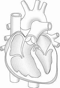 Heart Cutaway Linework  U00ab Graphic Design  Photorealistic