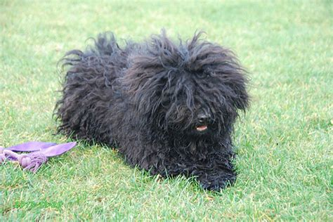 small non shedding dogs for seniors 20 best hypoallergenic breeds
