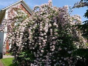 Blühende Hecke Schnellwachsend : kolkwitzia amabilis perlmuttstrauch bl hende oder bunte hecke ~ Eleganceandgraceweddings.com Haus und Dekorationen