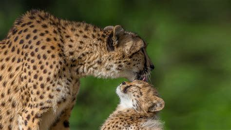 gestational surrogacy  option  asiatic cheetah