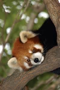 Zoo Animals Red Panda