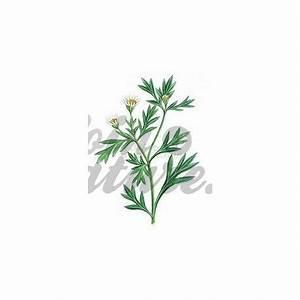Plante Detoxifiante : chrysanthellum plante coup e iphym herboristerie ~ Melissatoandfro.com Idées de Décoration
