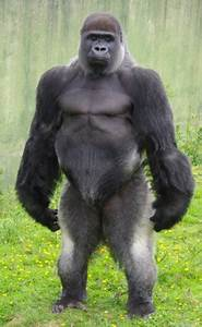 BADASS MAN'S BLOG!: Primates and Penis Size: How Do You ...