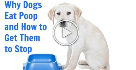 Why Do Dogs Eat Their Own Stool - why dogs eat and how to stop it
