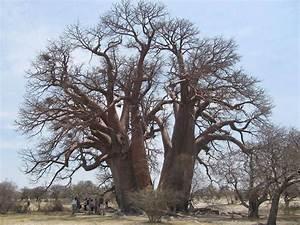 Wie Sieht Ein Hummelnest Aus : wie sieht ein affenbrotbaum aus wo kommt er her ~ Yasmunasinghe.com Haus und Dekorationen