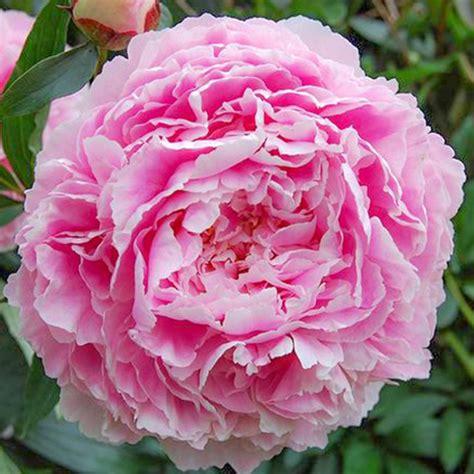 Peonija 'Sarah Bernhardt' | Peony.lv