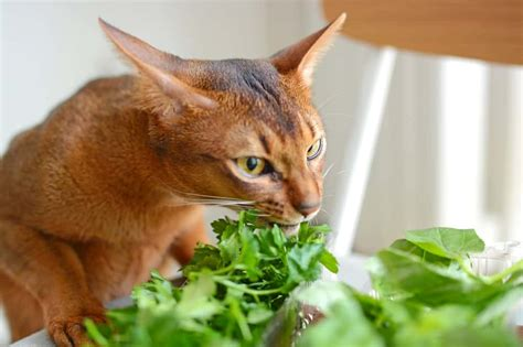 can cats eat lavender