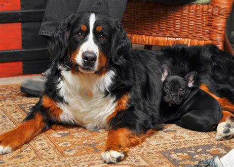 bernese mountain dog breeds rust breed maintenance info learn