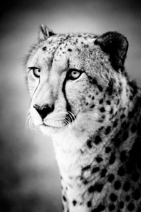 cheetah portrait fine art photograph beth wold fine