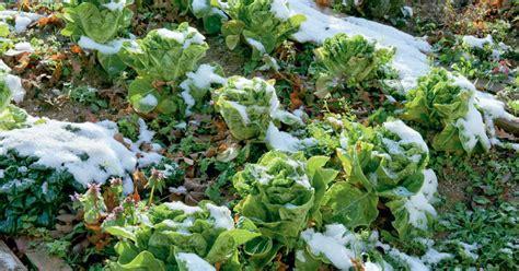 Garten Umgraben Herbst Oder Frühjahr by Im Herbst Pflanzen Im Fr 252 Hjahr Ernten Winter Kopfsalat