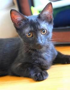 Prix D Un Parallélisme : adorable chaton ne de couleur black smoke adopter essonne 91 gratuit sur ~ Maxctalentgroup.com Avis de Voitures