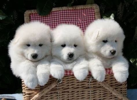 The Cutest Samoyed Photos Youll Ever See