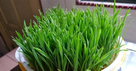 green finder plant vendors grow wheat grass indoor