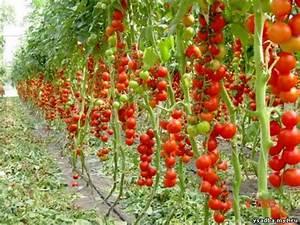 Planter Graine Tomate : cette plante est extraordinaire elle produit 32000 tomates par r colte nature pinterest ~ Dallasstarsshop.com Idées de Décoration