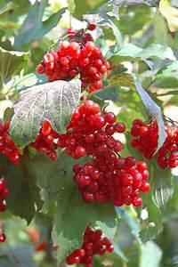 Wentworth Highbush Cranberry (Viburnum trilobum 'Wentworth ...