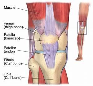 Anatomy Of Knee Tendons