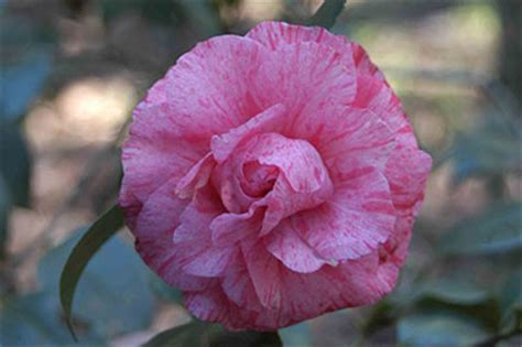 camellia florida camellias university of florida institute of food and agricultural sciences