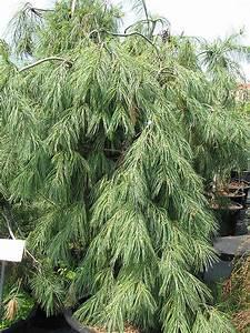 Weeping White Pine  Pinus Strobus  U0026 39 Pendula U0026 39   In Inver