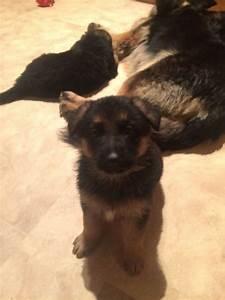 german shepherd puppies for sale bradford west With german shepherd dog house for sale