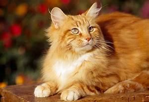 Fluffy Orange And White Tabby Cat | www.pixshark.com ...