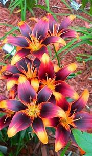 17 Best images about LILIES on Pinterest | Red lily ...