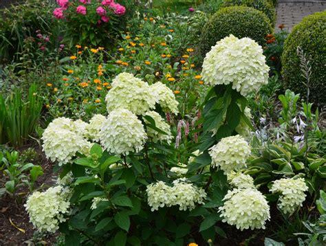 wann hortensien pflanzen rispenhortensie schneiden das ist zu beachten garten mix