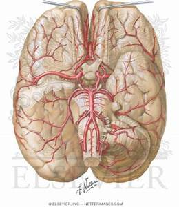 Brain  Arterial Supply