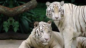 White Tiger Computer Wallpapers, Desktop Backgrounds ...