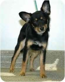 jazzy adopted dog 209 hamilton oh pomeranian
